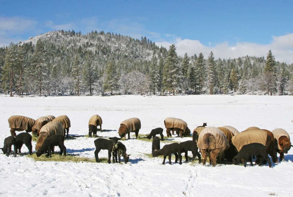 Natural Colored Wool Growers Association | Natural Colored Wool